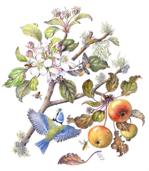 Blue Tit on Apple Tree