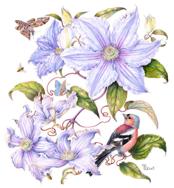Chaffinch on Clematis